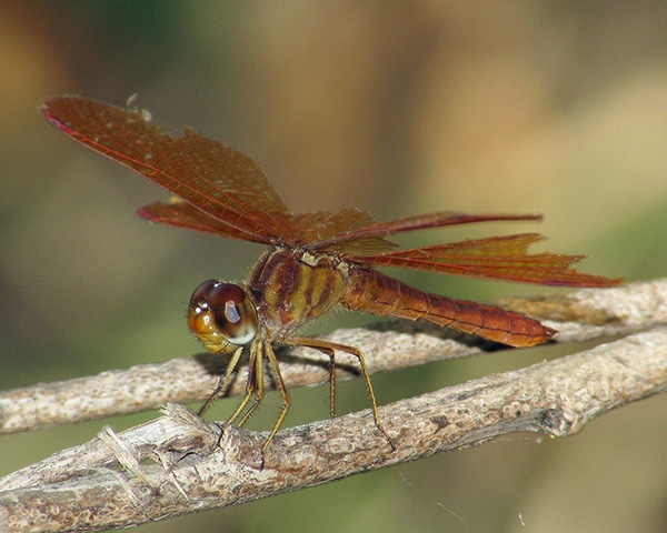 News: Slough Amberwing, <em>Perithemis domitia</em>, at Kelvin Bridge, Pinal