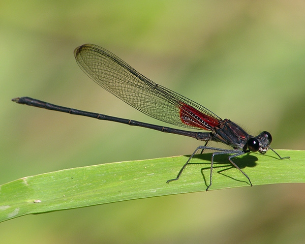 News: Canyon Rubyspot, <em>Hetaerina vulnerata</em>, at Spur Cross Conservation Area, Maricopa