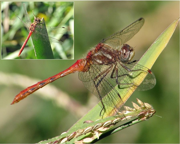 News: Striped Meadowhawk, <em>Sympetrum pallipes</em>, in Pinal Co.: new late flying date for Arizona