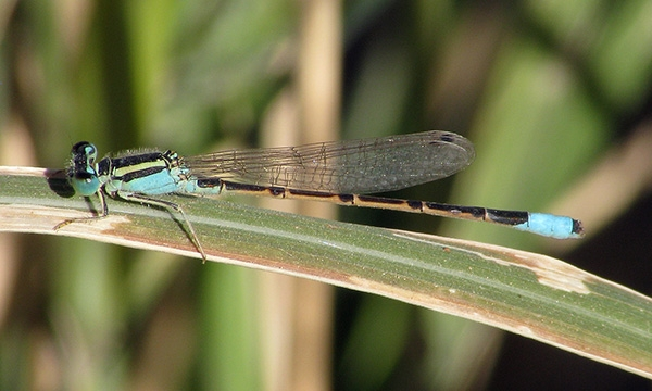 News: Desert Forktail, <em>Ischnura barberi</em>, in Maricopa Co.: new late flying date for Arizona