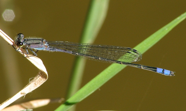 News: New Arizona species: Neotropical Bluet, <em>Enallagma novaehispaniae</em>, Maricopa