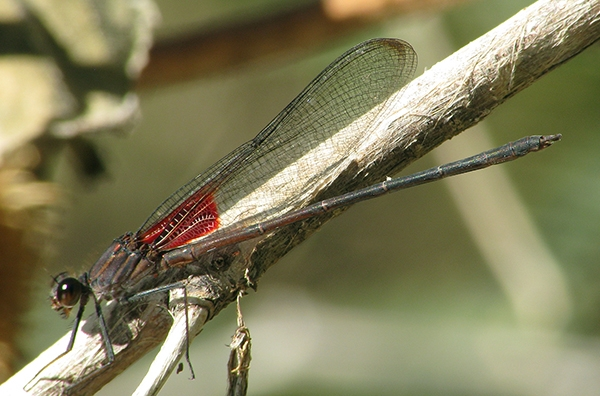 News: Canyon Rubyspot, <em>Hetaerina vulnerata</em> in Maricopa Co.: new late flying date for the SW United States