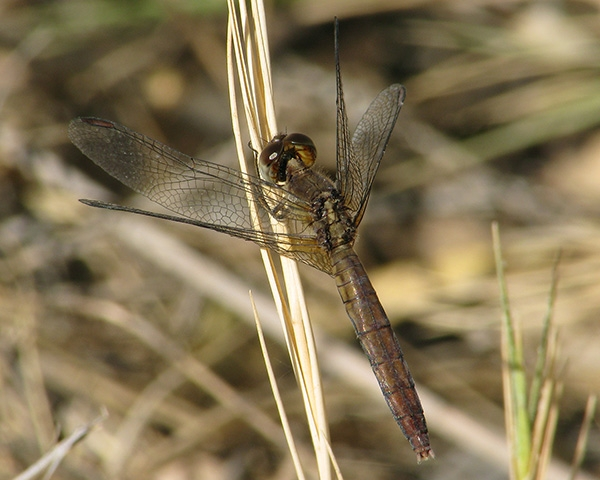 News: Plateau Dragonlet, <em>Erythrodiplax basifusca</em>, in Maricopa Co.: new late flying date for the SW United States