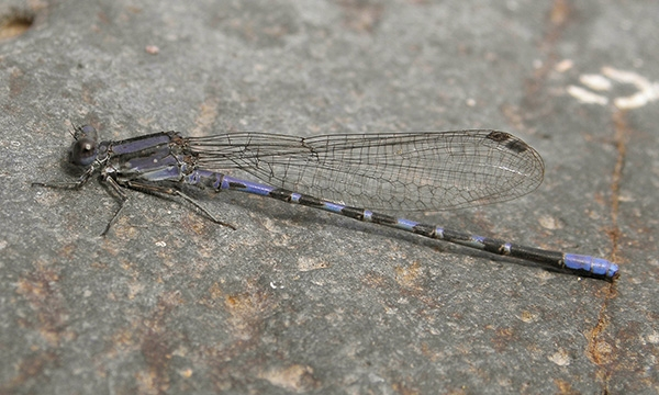 News: Kiowa Dancer, <em>Argia immunda</em>, in Gila Co.: new late flying date for Arizona