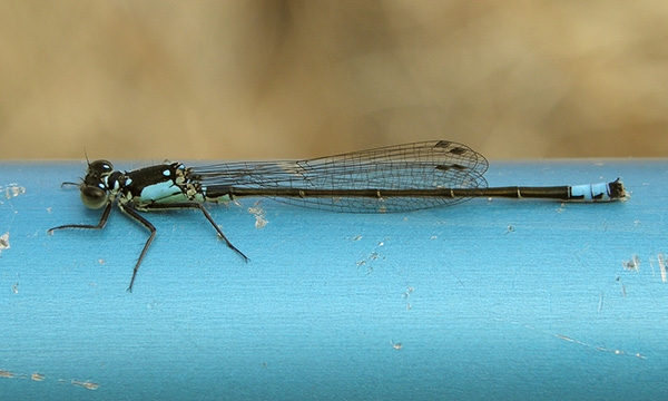 News: Pacific Forktail, <em>Ischnura cervula </em>in Gila Co.: new late flying date for Arizona