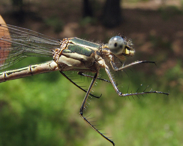News: Emerald Spreadwing, <em>Lestes dryas</em>, in Coconino Co.: new county record
