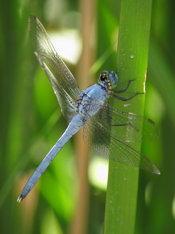 News: Eastern Pondhawk, <em>Erythemis simplicollis</em>, in Pima Co.