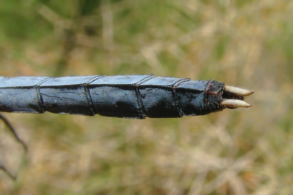 News: Eastern Pondhawk, <em>Erythemis simplicollis</em>, in Pima Co.