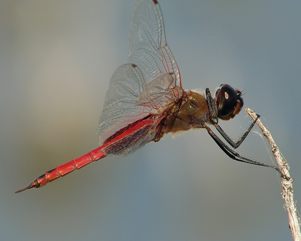 News: Antillean Saddlebags, <em>Tramea insularis</em>, at Kearny Lake, Pinal Co.