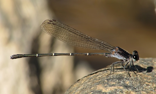 News: Tezpi Dancer, <em>Argia tezpi</em>, at Kelvin Bridge, Pinal Co.