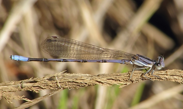 News: Lavender Dancer, <em>Argia hinei</em>, in Maricopa Co.: new late flying date for Arizona