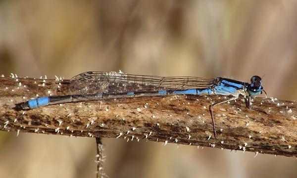 News: Arroyo Bluet, <em>Enallagma praevarum</em>, in Maricopa Co.: new late flying date for Arizona.