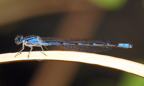 News: Arroyo Bluet, <em>Enallagma praevarum</em>, in Maricopa Co.: new early flying date for AZ