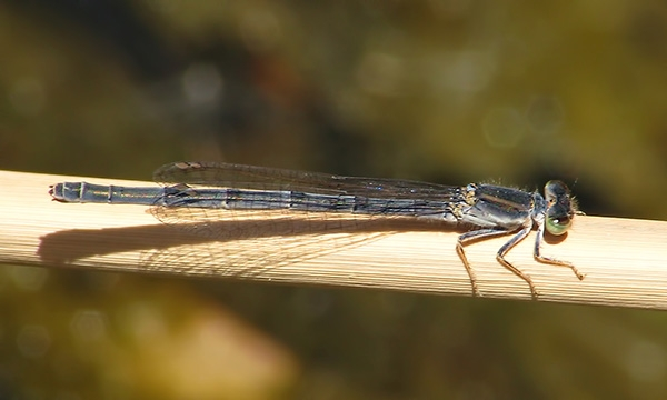 News: Mexican Forktail, <em>Ischnura demorsa</em>, in Maricopa Co., AZ: new early flying date for AZ