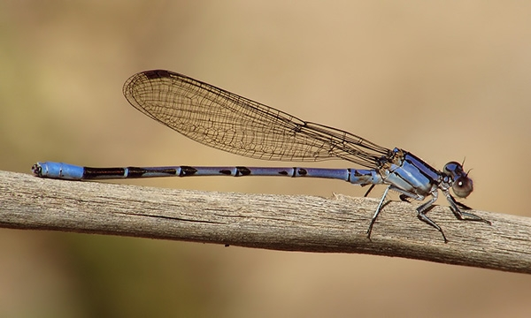 News: Springwater Dancer, <em>Argia plana</em>, in Maricopa Co.: new early flying date for February in AZ