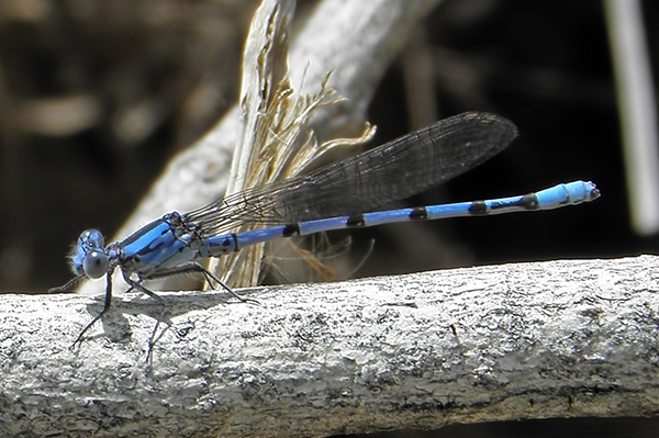 News: California Dancer, <em>Argia agrioides</em>, in Maricopa Co.: new early flying date for Arizona.