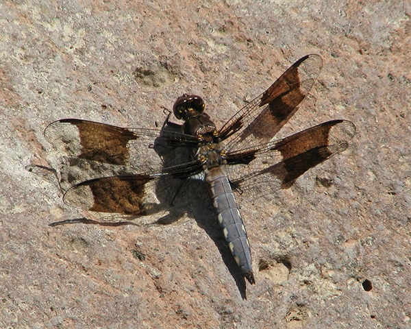 News: Common Whitetail, <em>Plathemis lydia</em>, in Gila Co., AZ: new early flying date for the state.