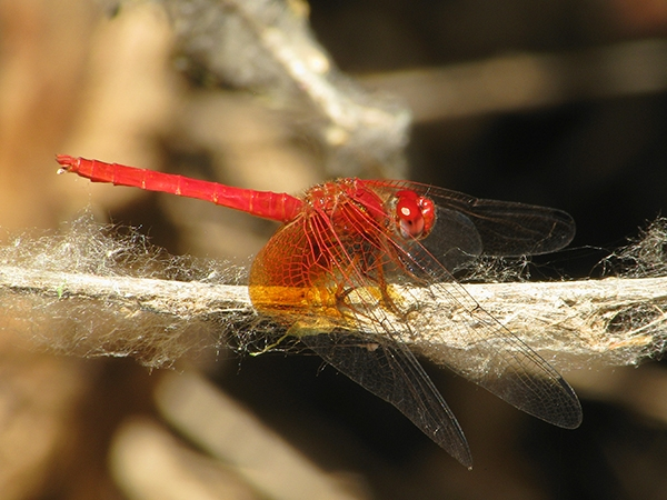 News: Mayan Setwing, <em>Dythemis maya</em> in Cochise Co., AZ: new late flying date for the state