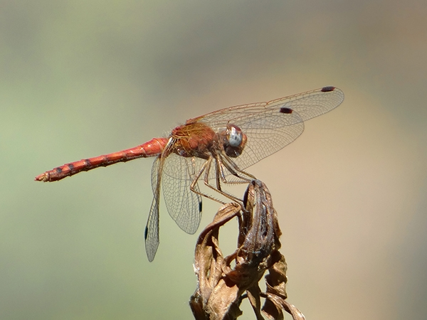 News: Spot-winged Meadowhawk, <em>Sympetrum signiferum</em>, in N. Cochise Co., AZ