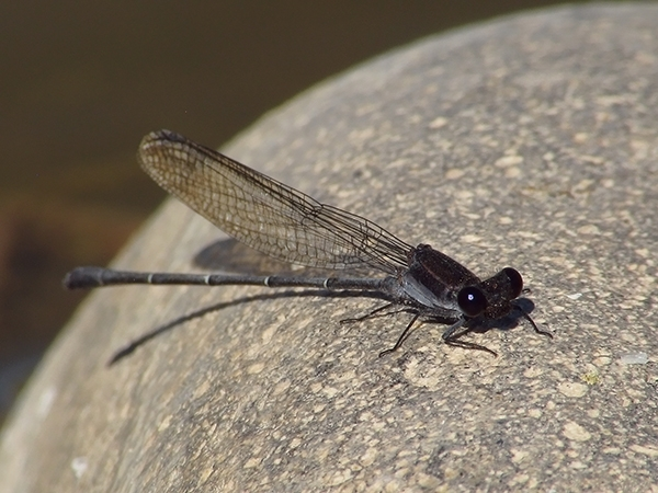News: Tezpi Dancer, <em>Argia tezpi</em>, in Maricopa Co., AZ: 2nd county record.