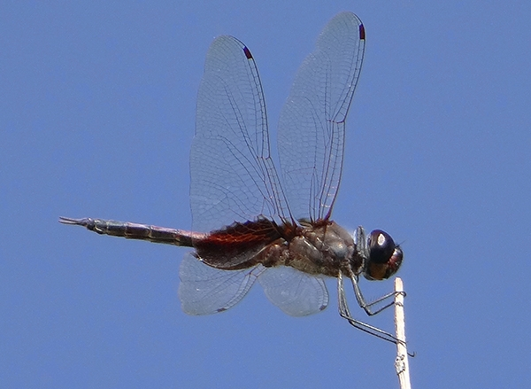 News: Sooty Saddlebags, <em>Tramea binotata</em>, in Maricopa Co.: Fourth Arizona record.