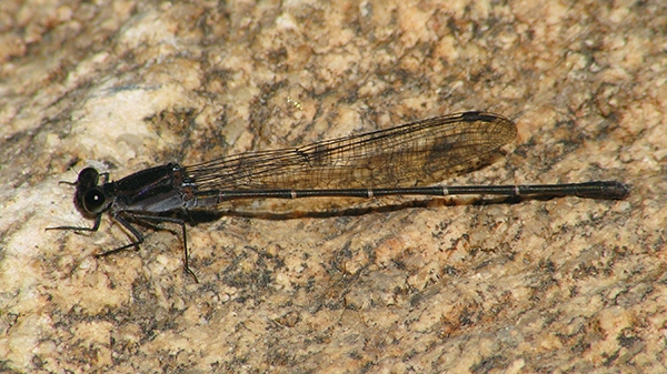 News: Two male Tezpi Dancers, <em>Argia tezpi</em>, in Maricopa Co., AZ
