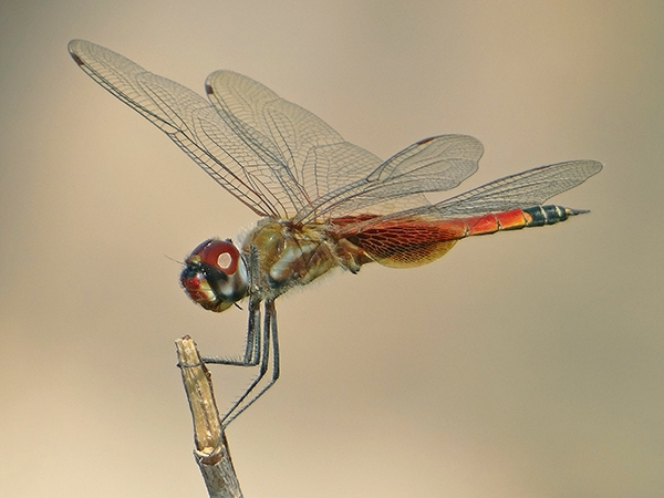 News: Family Portrait: Papago Park's November Striped Saddlebags, <em>Tramea calverti</em>