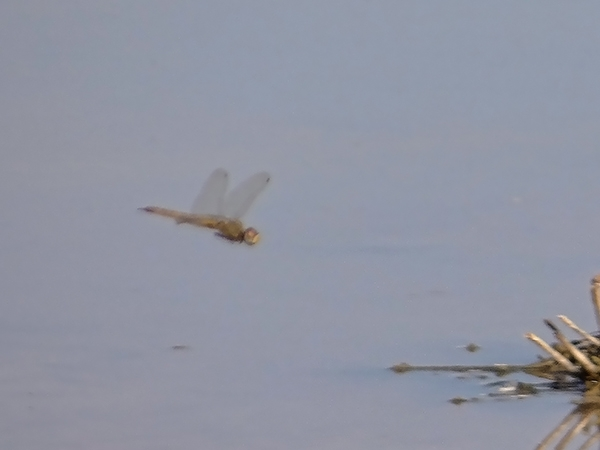 News: Wandering Glider, <em>Pantala flavescens</em>, in Maricopa Co., AZ: new late flying date for the state.