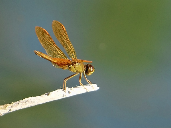 News: Mexican Amberwing, <em>Perithemis intensa</em>, in Maricopa Co., AZ: new late flying date for the state.