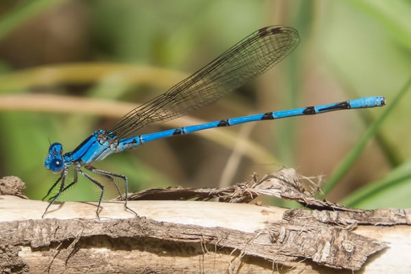 News: Tarascan Dancer, <em>Argia tarascana</em>, in Gila Co., AZ: new early flying date for the state