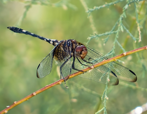 News: Checkered Setwing, <em>Dythemis fugax</em>, in Maricopa Co., AZ: new county record