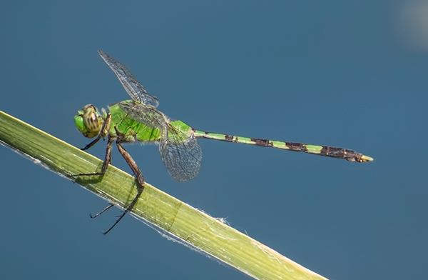 News: Great Pondhawk, <em>Erythemis vesiculosa</em>, at Papago Park, Phoenix, Maricopa, AZ: Second county record.