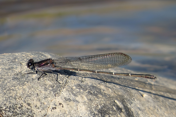 News: Tezpi Dancer, <em>Argia tezpi</em>, at Wild Horse Pass, Maricopa, AZ: third county record.