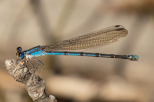 News: Andromorph (blue form) female Pima Dancer, <em>Argia pima</em>, at Double R Canyon (Muleshoe Ranch), Cochise, AZ.