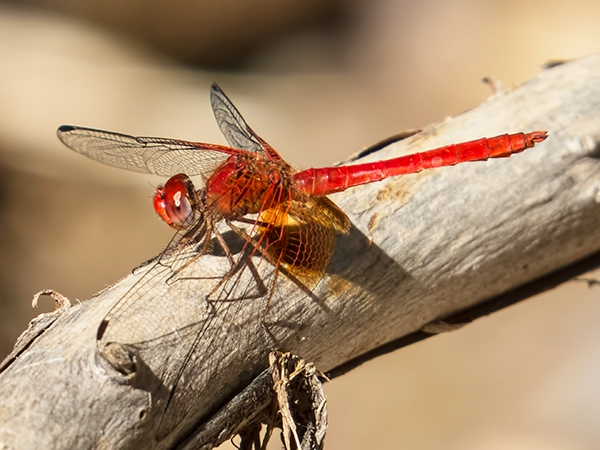 News: Mayan Setwing, <em>Dythemis maya</em>, at Muleshoe Ranch, Cochise, AZ: new late flying date for the state