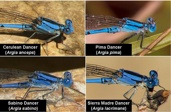 News: Individual variation in the humeral stripe of the Tarascan Dancer, <em>Argia tarascana</em>