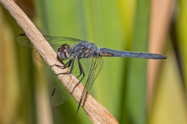 News: Blue Dasher, <em>Pachydiplax longipennis</em>, in Maricopa Co., AZ: new early flying date for the state