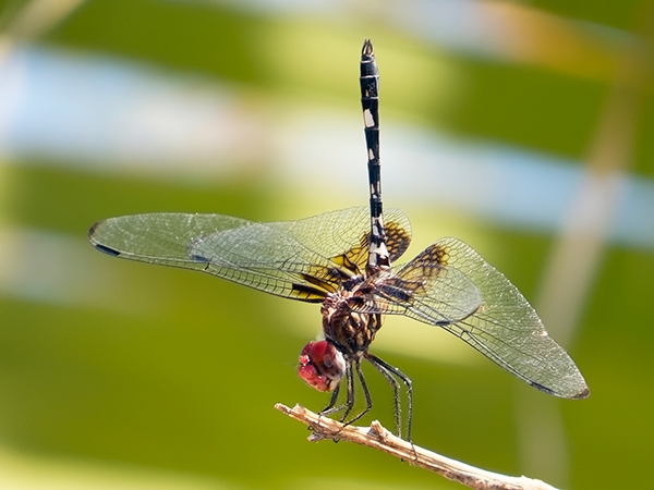News: Checkered Setwing, <em>Dythemis fugax</em>, at Papago Park, Phoenix, Maricopa Co.
