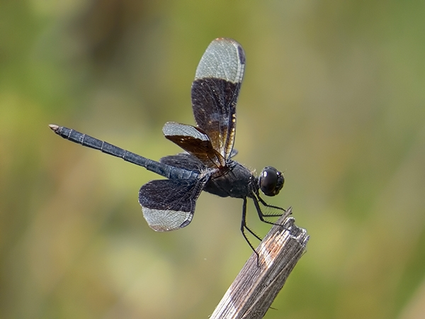 News: Black-winged Dragonlet, <em>Erythrodiplax funerea</em>, in Arizona, July 2014: First state record in 60 years!