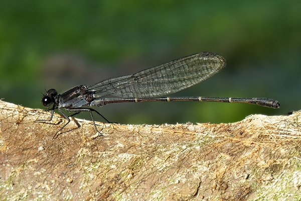 News: Tezpi Dancer, <em>Argia tezpi</em>, at Papago Park, Maricopa Co., AZ: Northernmost record of the species to date.