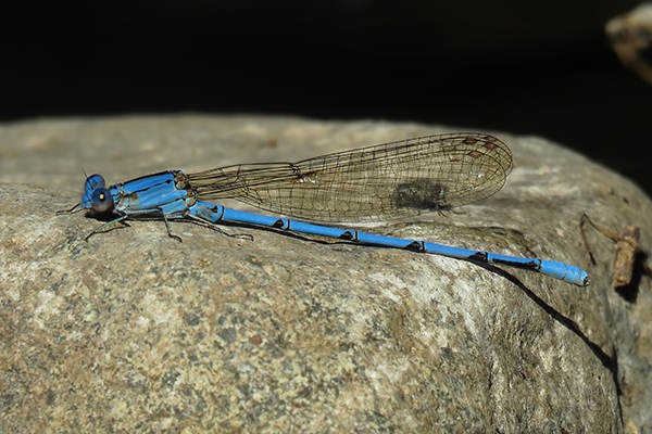 News: Cerulean Dancer, <em>Argia anceps</em>, in Santa Cruz Co., AZ: record number of individuals and new late flight date for the state