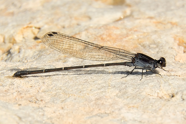 News: Multiple Tezpi Dancers, <em>Argia tezpi</em>, at Kearny Lake, Pinal Co., AZ: new species location