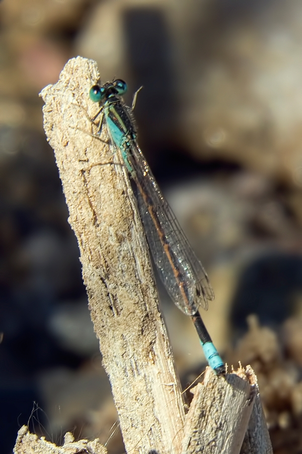 News: Desert Forktail, <em>Ischnura barberi</em>, in Pinal Co., AZ: new late flying date for the state