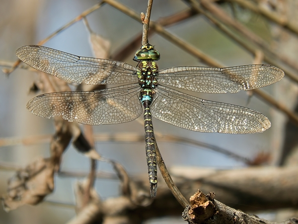News: Turquoise-tipped Darner, <em>Rhionaeschna psilus</em>, in Maricopa Co., AZ: new county record