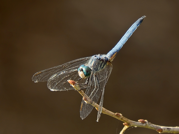 News: Blue Dasher, <em>Pachydiplax longipennis</em>, in Maricopa Co., AZ: new late flying date for the Southwest US