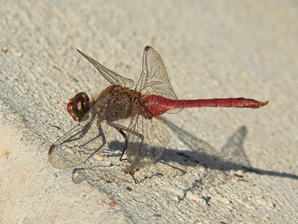 News: Red-tailed Pennant, <em>Brachymesia furcata</em>, in Maricopa Co., AZ: new late flying date for the state