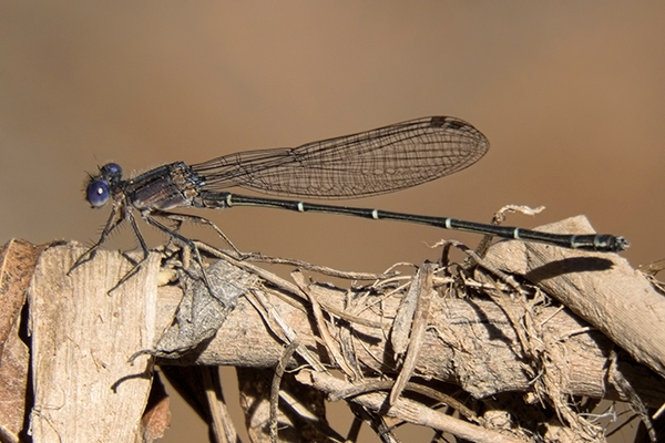 News: Dusky Dancer, <em>Argia translata</em>, in Maricopa Co., AZ: new late flying date for the state