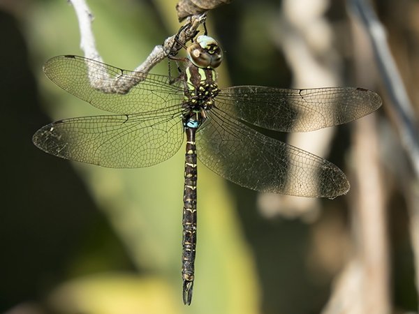 News: Turquoise-tipped Darner, <em>Rhionaeschna psilus</em>, in Maricopa Co., AZ: new late flying date for the state