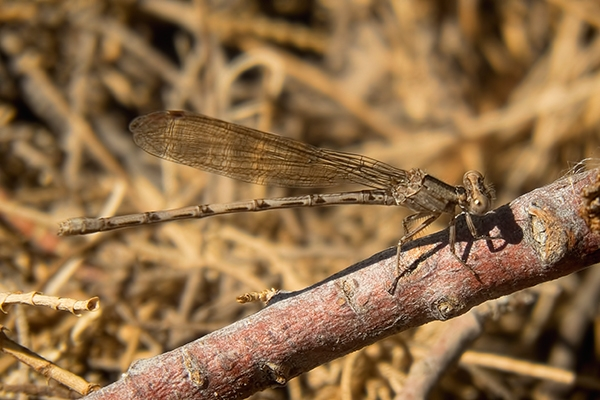 News: Blue-ringed Dancer, <em>Argia sedula</em>, in Maricopa Co., AZ: new early flying date for the state