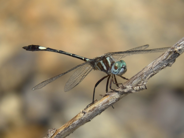 News: Slender Clubskimmer, <em>Brechmorhoga praecox</em>, in Pima Co, AZ: New species for the state